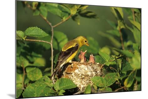American Goldfinch Female with Nestlings at Nest, Marion, Il-Richard and Susan Day-Mounted Photographic Print