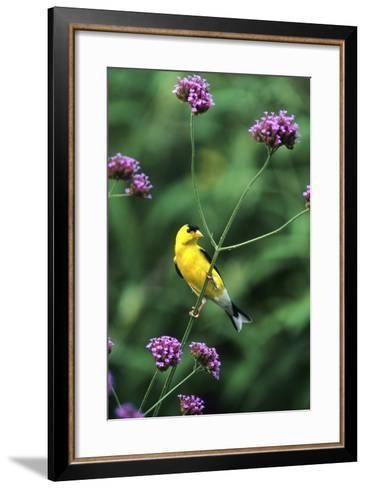 American Goldfinch Male on Brazilian Verbena in Garden, Marion, Il-Richard and Susan Day-Framed Art Print