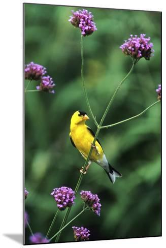 American Goldfinch Male on Brazilian Verbena in Garden, Marion, Il-Richard and Susan Day-Mounted Photographic Print