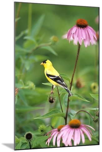 American Goldfinch Male on Purple Coneflower, Marion County, Illinois-Richard and Susan Day-Mounted Photographic Print