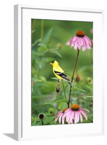 American Goldfinch Male on Purple Coneflower, Marion County, Illinois-Richard and Susan Day-Framed Art Print
