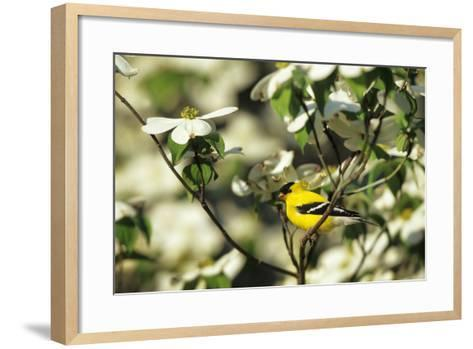 American Goldfinch Male in Flowering Dogwood Tree, Marion, Il-Richard and Susan Day-Framed Art Print