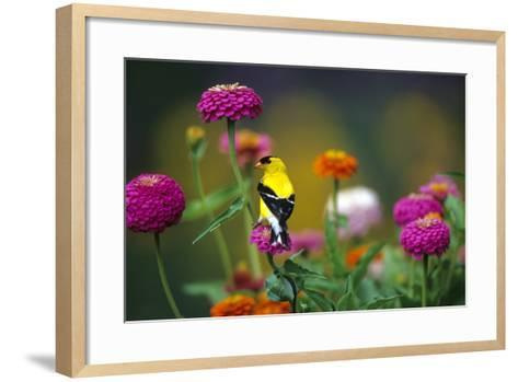 American Goldfinch Male on Zinnias in Garden, Marion, Il-Richard and Susan Day-Framed Art Print