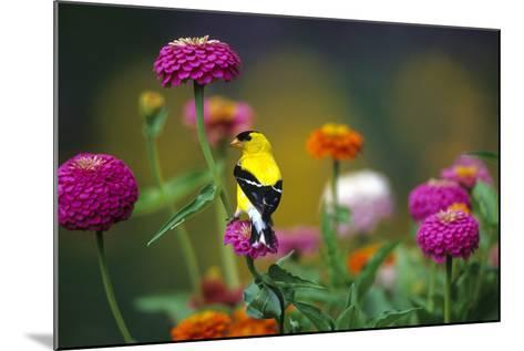 American Goldfinch Male on Zinnias in Garden, Marion, Il-Richard and Susan Day-Mounted Photographic Print