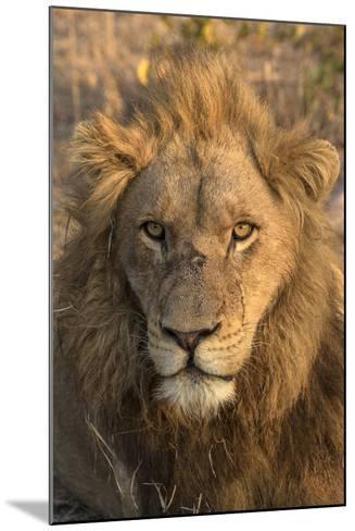 Africa, Botswana, Savuti Game Reserve. Male Lion Close-Up-Jaynes Gallery-Mounted Photographic Print