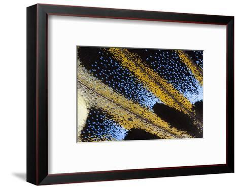 Close-Up Detail Wing Pattern of Tropical Butterfly-Darrell Gulin-Framed Art Print