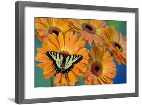 Canadian Tiger Swallowtail Butterfly-Darrell Gulin-Framed Art Print