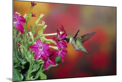 Ruby-Throated Hummingbird Male at Hummingbird Rose Pink Nicotiana, Illinois-Richard and Susan Day-Mounted Photographic Print