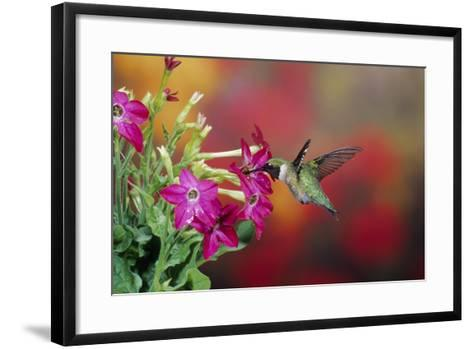 Ruby-Throated Hummingbird Male at Hummingbird Rose Pink Nicotiana, Illinois-Richard and Susan Day-Framed Art Print