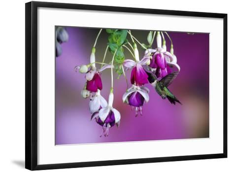 Ruby-Throated Hummingbird Male at Hybrid Fuchsia. Shelby County, Illinois-Richard and Susan Day-Framed Art Print