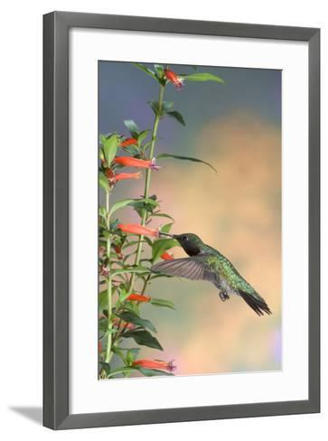 Ruby-Throated Hummingbird Male on Cigar Plant, Marion County, Illinois-Richard and Susan Day-Framed Art Print