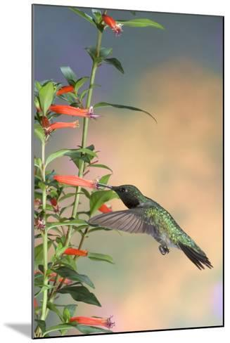 Ruby-Throated Hummingbird Male on Cigar Plant, Marion County, Illinois-Richard and Susan Day-Mounted Photographic Print