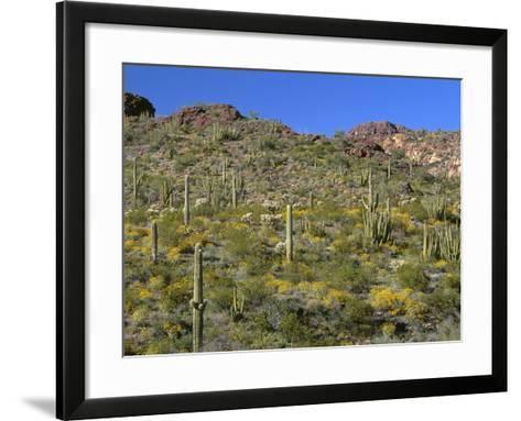 Arizona, Brittlebush Blooms Beneath Organ Pipe, Cholla and Saguaro Cacti, Near Diablo Wash-John Barger-Framed Art Print