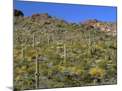 Arizona, Brittlebush Blooms Beneath Organ Pipe, Cholla and Saguaro Cacti, Near Diablo Wash-John Barger-Mounted Photographic Print