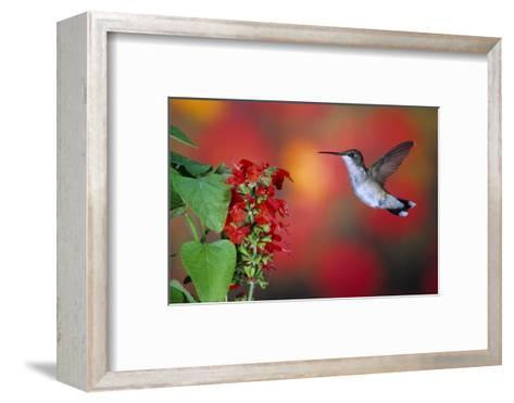 Ruby-Throated Hummingbird on Scarlet Sage Marion County, Illinois-Richard and Susan Day-Framed Art Print