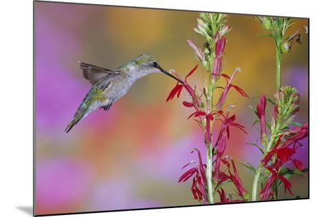 Ruby-Throated Hummingbird on Scarlet Sage Marion County, Illinois-Richard and Susan Day-Mounted Photographic Print