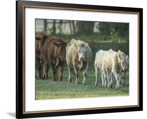 Mixed Cattle Coming for Water, Florida-Maresa Pryor-Framed Art Print