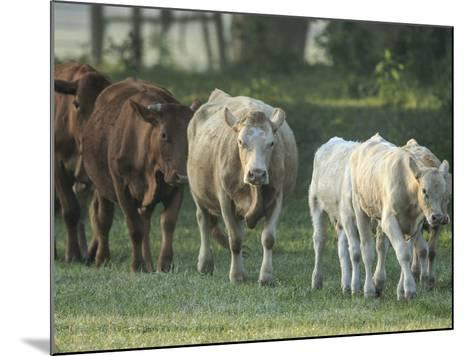 Mixed Cattle Coming for Water, Florida-Maresa Pryor-Mounted Photographic Print