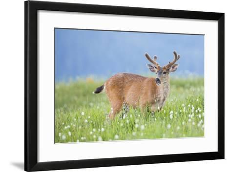 Washington, Olympic National Park. A Black-Tailed Buck in Velvet Feeds on Subalpine Wildflowers-Gary Luhm-Framed Art Print