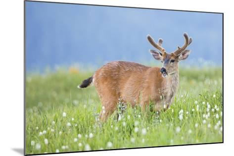 Washington, Olympic National Park. A Black-Tailed Buck in Velvet Feeds on Subalpine Wildflowers-Gary Luhm-Mounted Photographic Print