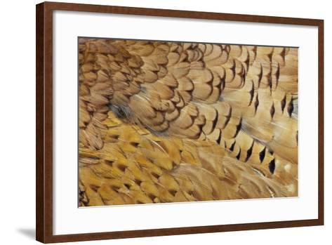 Variations on Feather Colors of the Ring-Necked Pheasant-Darrell Gulin-Framed Art Print