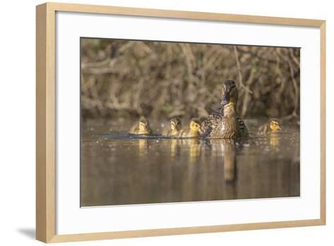 Washington, Mallard Hen with Ducklings on the Shore of Lake Washington-Gary Luhm-Framed Art Print