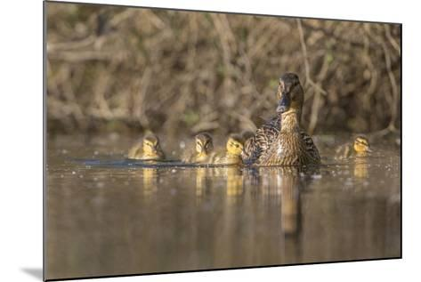 Washington, Mallard Hen with Ducklings on the Shore of Lake Washington-Gary Luhm-Mounted Photographic Print