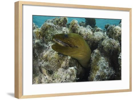 Green Moray, Lighthouse Reef, Atoll, Belize-Pete Oxford-Framed Art Print