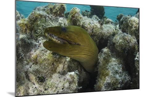 Green Moray, Lighthouse Reef, Atoll, Belize-Pete Oxford-Mounted Photographic Print