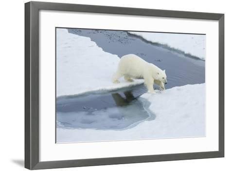 Greenland, Scoresby Sound, Polar Bear Jumps over Water to Reach Sea Ice-Aliscia Young-Framed Art Print