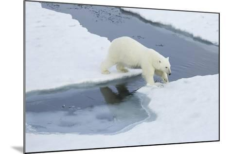 Greenland, Scoresby Sound, Polar Bear Jumps over Water to Reach Sea Ice-Aliscia Young-Mounted Photographic Print