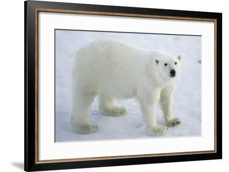 Greenland, Scoresby Sound, Polar Bear Standing on Sea Ice-Aliscia Young-Framed Art Print