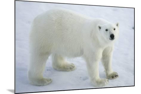 Greenland, Scoresby Sound, Polar Bear Standing on Sea Ice-Aliscia Young-Mounted Photographic Print