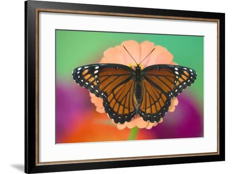 Viceroy Butterfly a Mimic of the Monarch Butterfly-Darrell Gulin-Framed Art Print