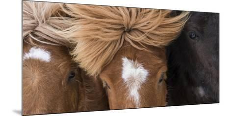 Icelandic Horse with Typical Winter Coat, Iceland-Martin Zwick-Mounted Photographic Print