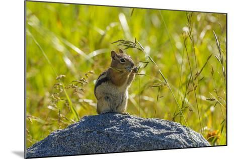 USA, Colorado, Gunnison National Forest. Golden-Mantled Ground Squirrel Eating Grass Seeds-Jaynes Gallery-Mounted Photographic Print