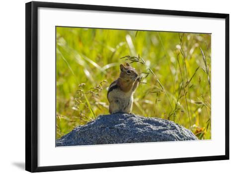 USA, Colorado, Gunnison National Forest. Golden-Mantled Ground Squirrel Eating Grass Seeds-Jaynes Gallery-Framed Art Print