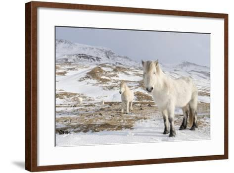 Icelandic Horse with Typical Winter Coat, Iceland-Martin Zwick-Framed Art Print