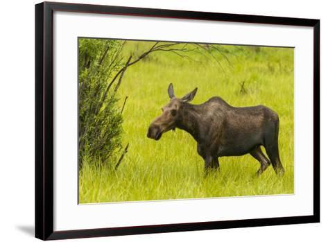 USA, Colorado, Rocky Mountain National Park, Moose Cow Standing in Grass-Jaynes Gallery-Framed Art Print