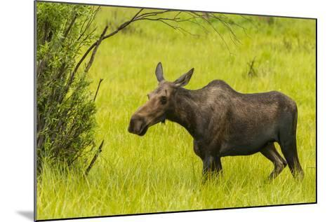 USA, Colorado, Rocky Mountain National Park, Moose Cow Standing in Grass-Jaynes Gallery-Mounted Photographic Print