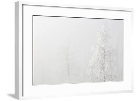 USA, Colorado, Pike National Forest. Trees with Hoarfrost in Fog-Jaynes Gallery-Framed Art Print