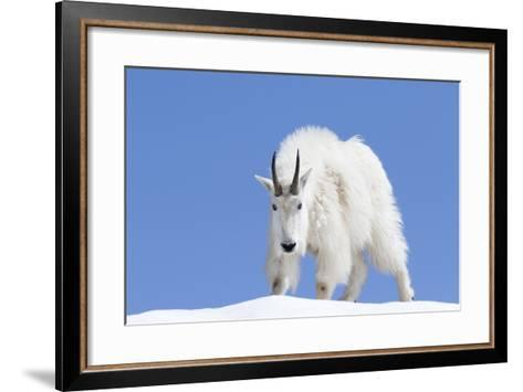 Washington, Alpine Lakes Wilderness, Mountain Goat, Billy Goat, Male-Jamie And Judy Wild-Framed Art Print