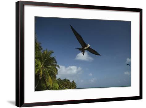 Magnificent Frigatebird, Half Moon Caye, Lighthouse Reef, Atoll, Belize-Pete Oxford-Framed Art Print