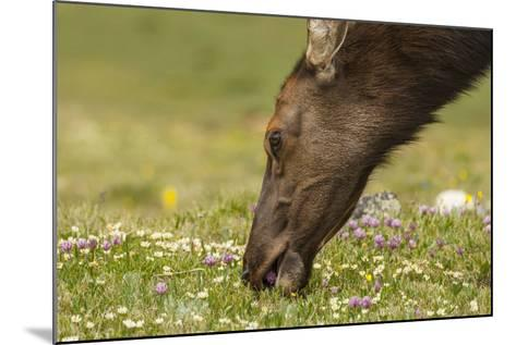 USA, Colorado, Rocky Mountain National Park. Elk Cow Eating Flowers-Jaynes Gallery-Mounted Photographic Print