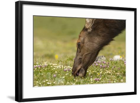 USA, Colorado, Rocky Mountain National Park. Elk Cow Eating Flowers-Jaynes Gallery-Framed Art Print