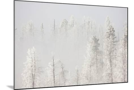 USA, Colorado, Pike National Forest. Trees with Hoarfrost in Fog-Jaynes Gallery-Mounted Photographic Print