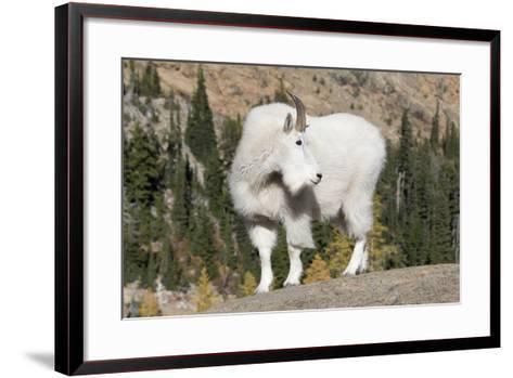 Washington, Alpine Lakes Wilderness, Mountain Goat, Billy Goat-Jamie And Judy Wild-Framed Art Print