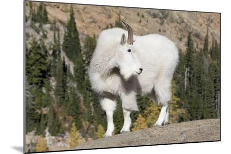 Washington, Alpine Lakes Wilderness, Mountain Goat, Billy Goat-Jamie And Judy Wild-Mounted Photographic Print