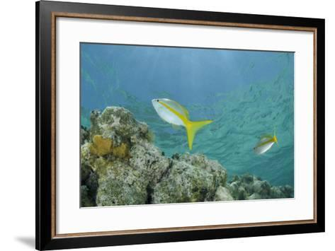 Yellowtail Snapper, Half Moon Caye, Lighthouse Reef, Atoll, Belize-Pete Oxford-Framed Art Print