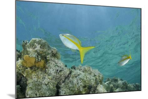 Yellowtail Snapper, Half Moon Caye, Lighthouse Reef, Atoll, Belize-Pete Oxford-Mounted Photographic Print